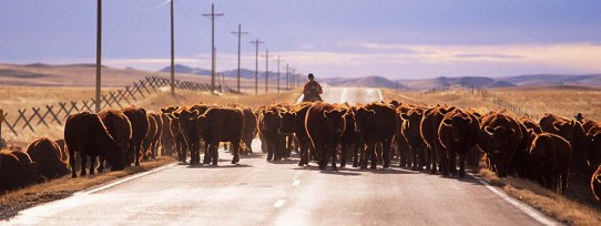 cattle-drive